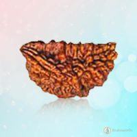 Rudraksh 1 Mukhi Redisg-brown - BrahmatellsStore